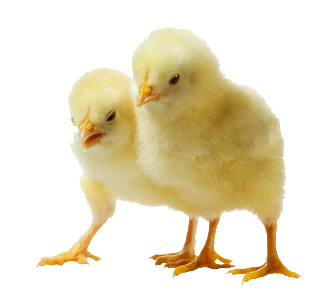 png stock Chick clipart 2 chicken. Png images transparent free.