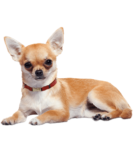image transparent download Chihuahua Lying Down transparent PNG