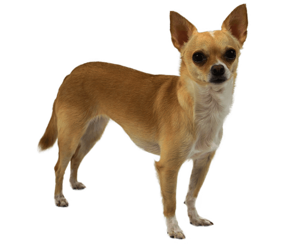 jpg library stock Breed facts and information. Chihuahua clipart short dog.