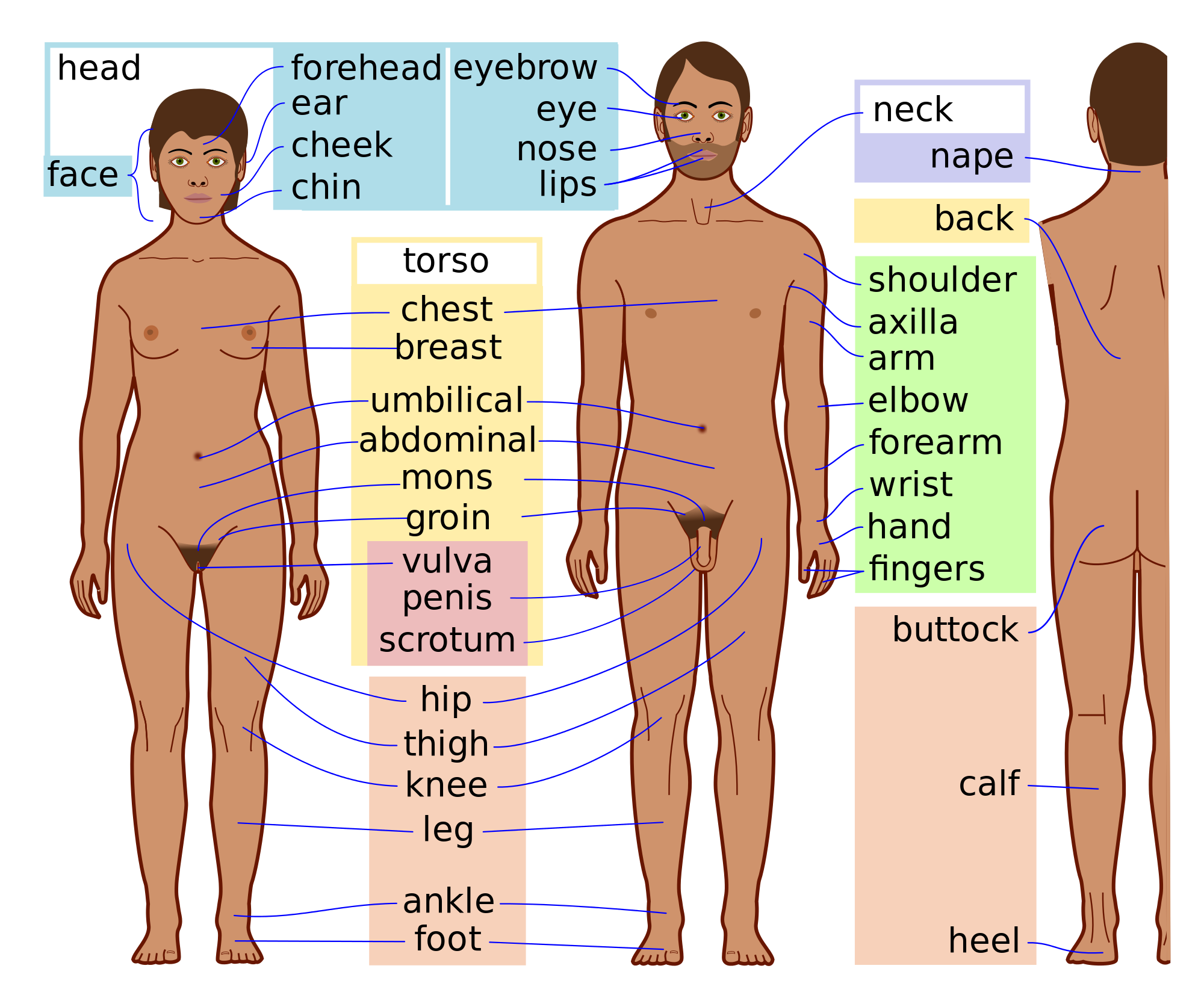 graphic library library Chin clipart body part. Human parts external fosfe.
