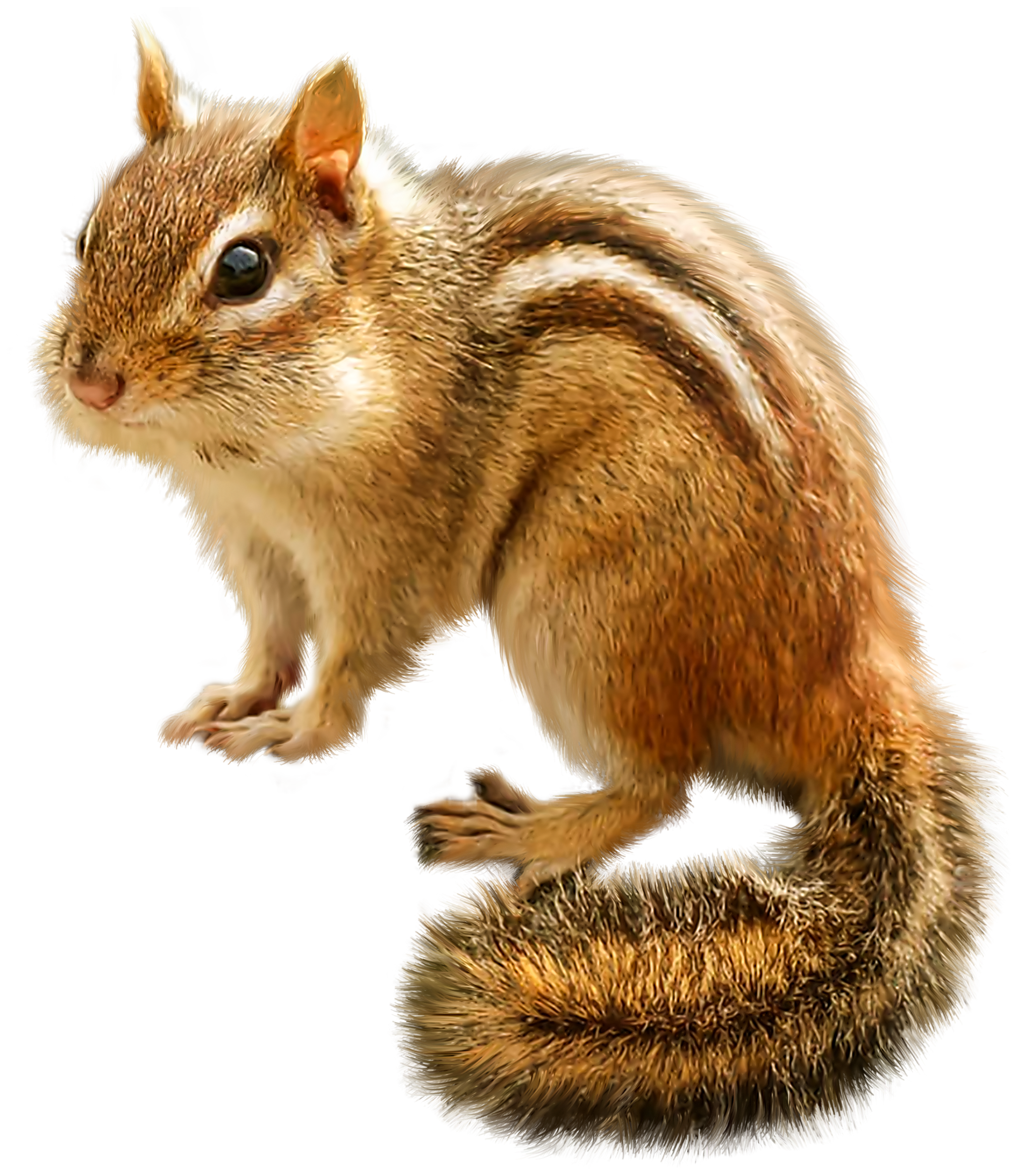 jpg transparent stock Png clip art best. Chipmunk clipart