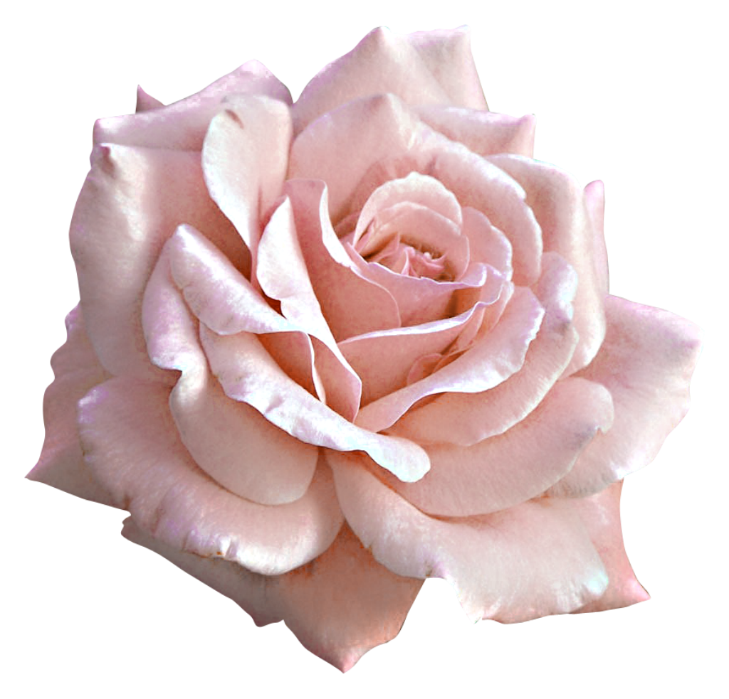 banner freeuse stock Large light pink rose. Christmas sweater pattern clipart