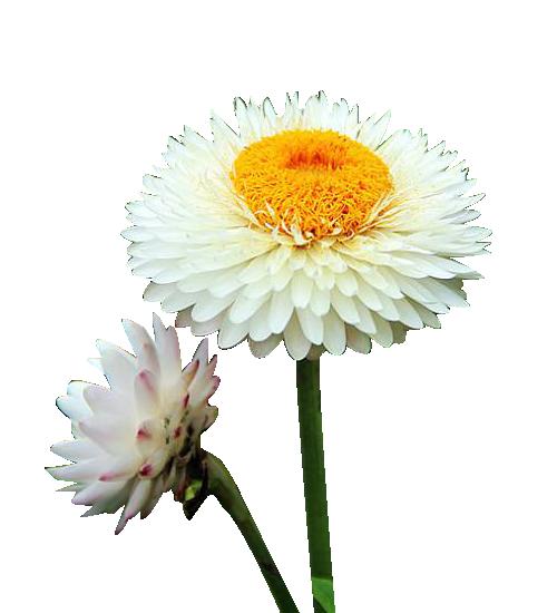 clipart transparent Chrysanthemum xd