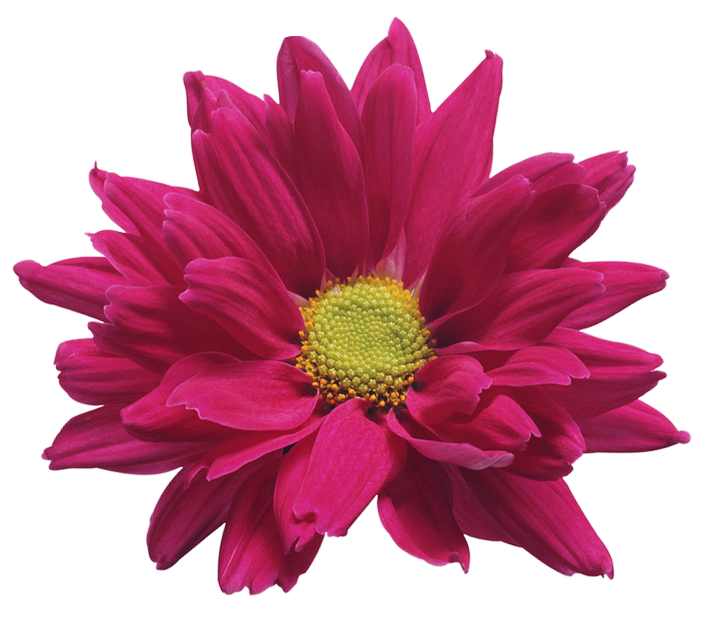 banner free stock Pink Chrysanthemum Flower Transparent Clip Art Image
