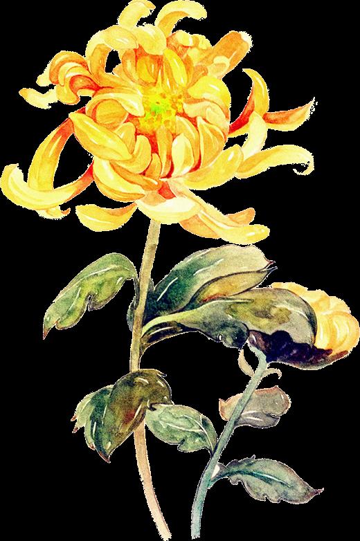 jpg royalty free stock Watercolor painting Chrysanthemum Illustration