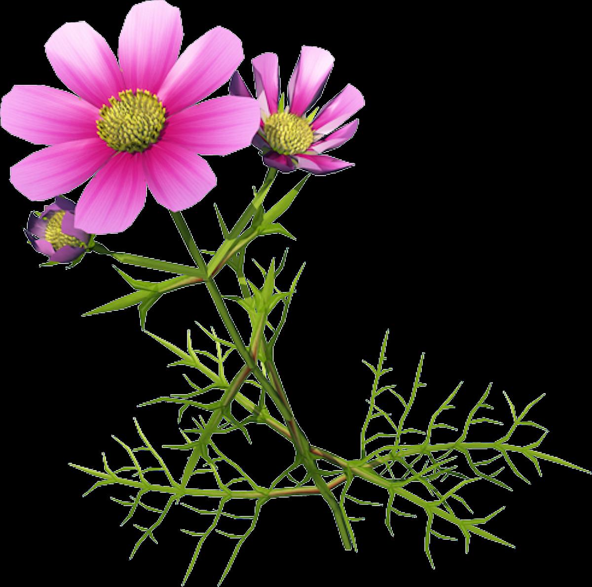 vector free library Chrysanthemum indicum Cosmos bipinnatus Clip art
