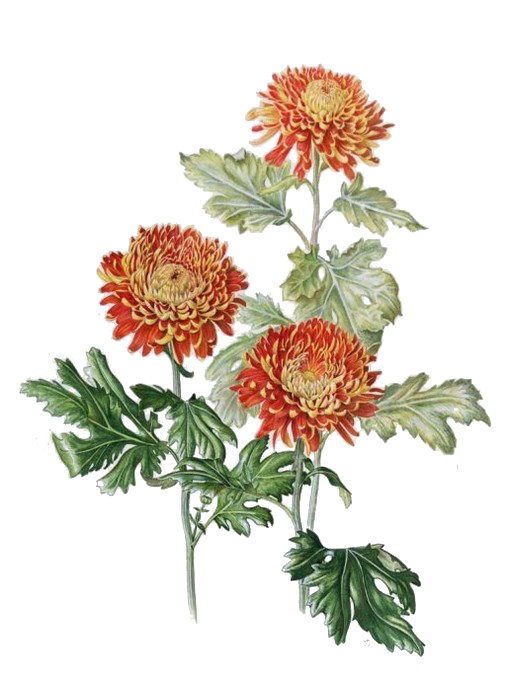 picture free stock Chrysanthemum xd