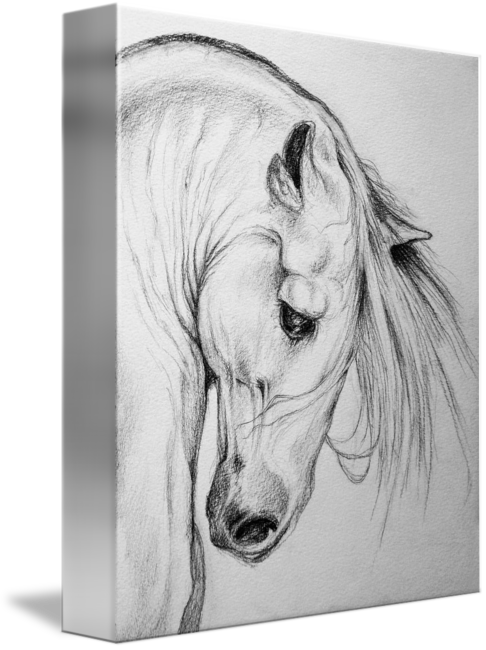 picture free download Andalusian Horse pencil art portrait by Evey Studios