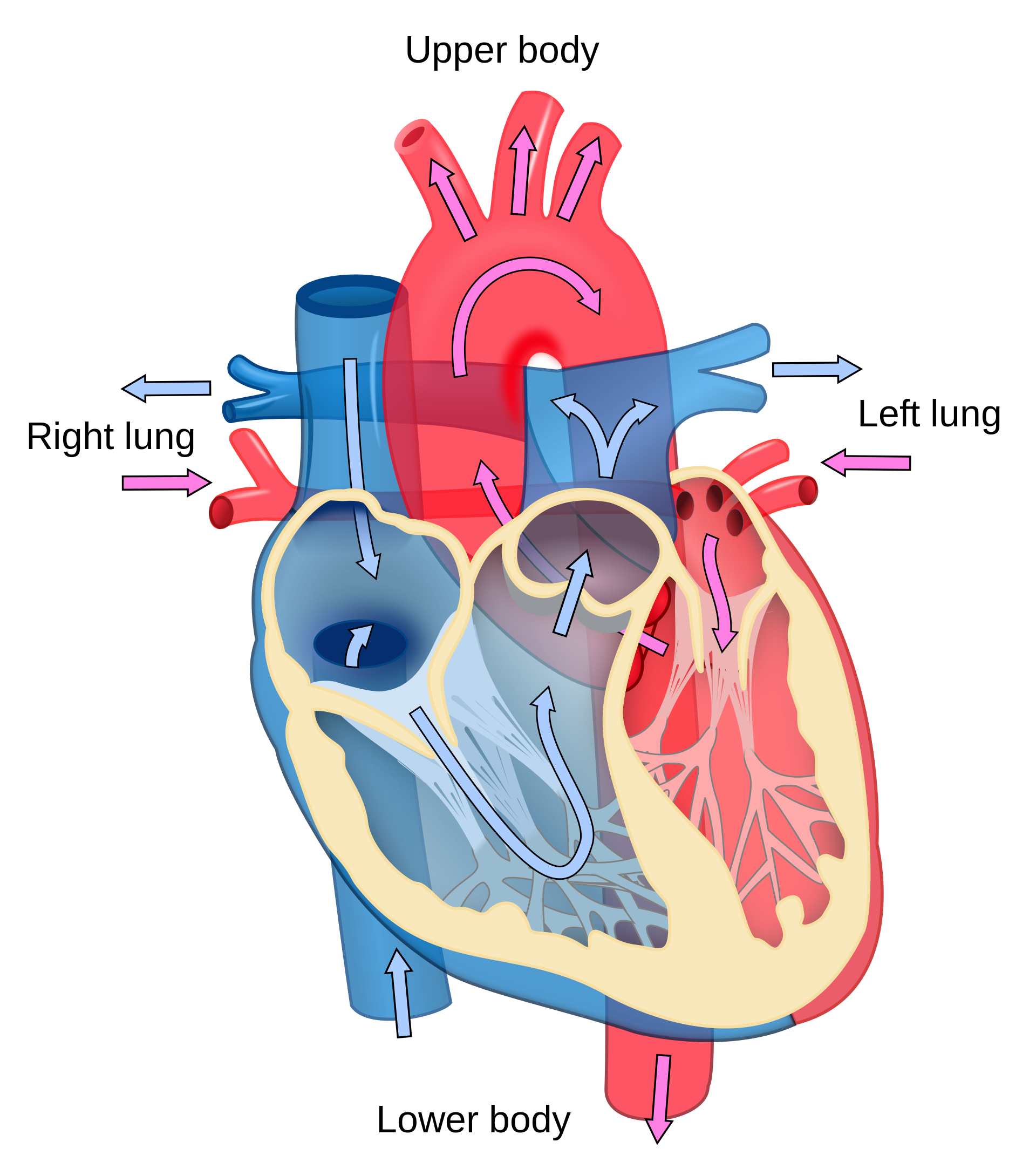 picture transparent Lungs clipart for kids. Heart diagram at getdrawings