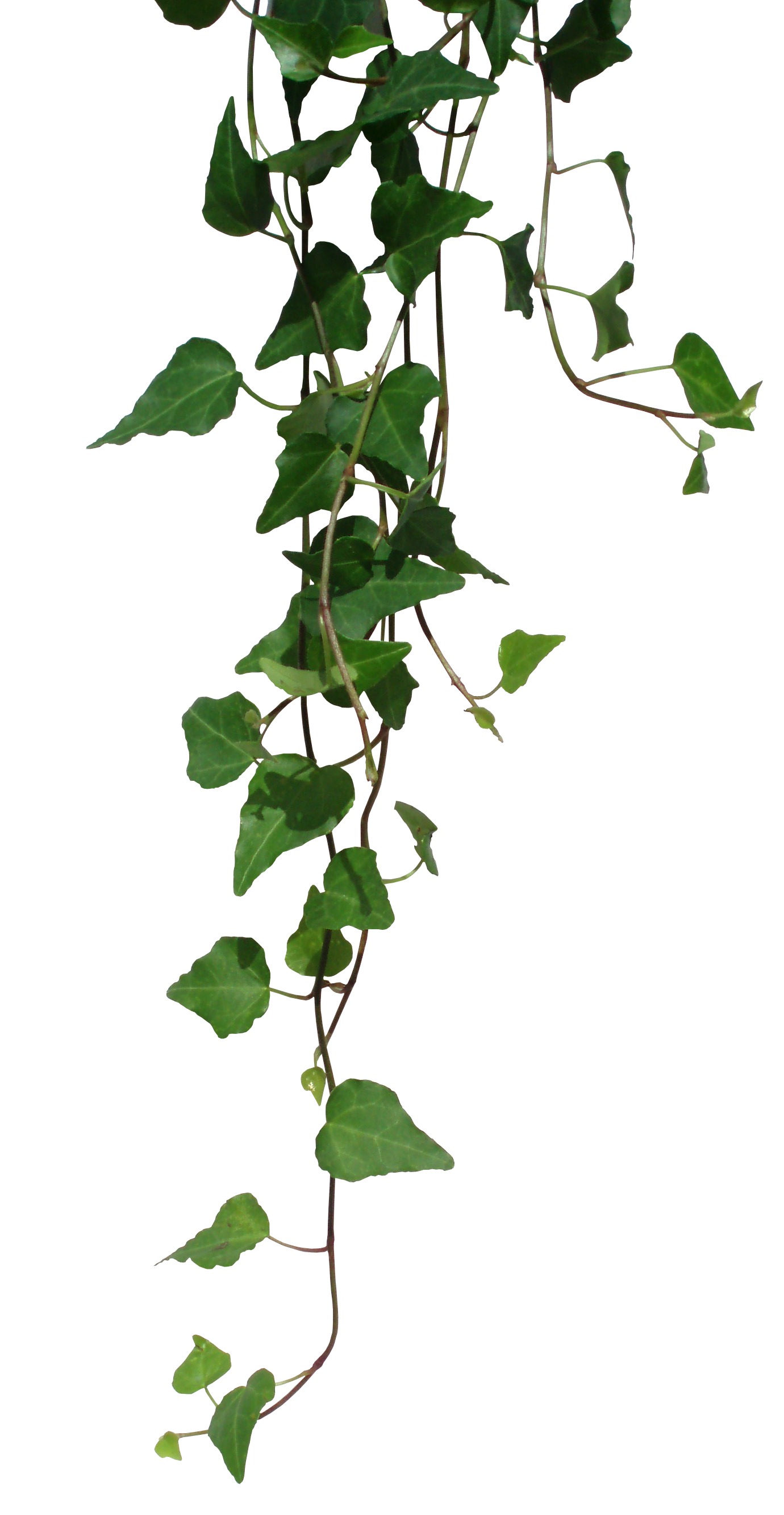 jpg royalty free stock Serenity clipart leaf vine