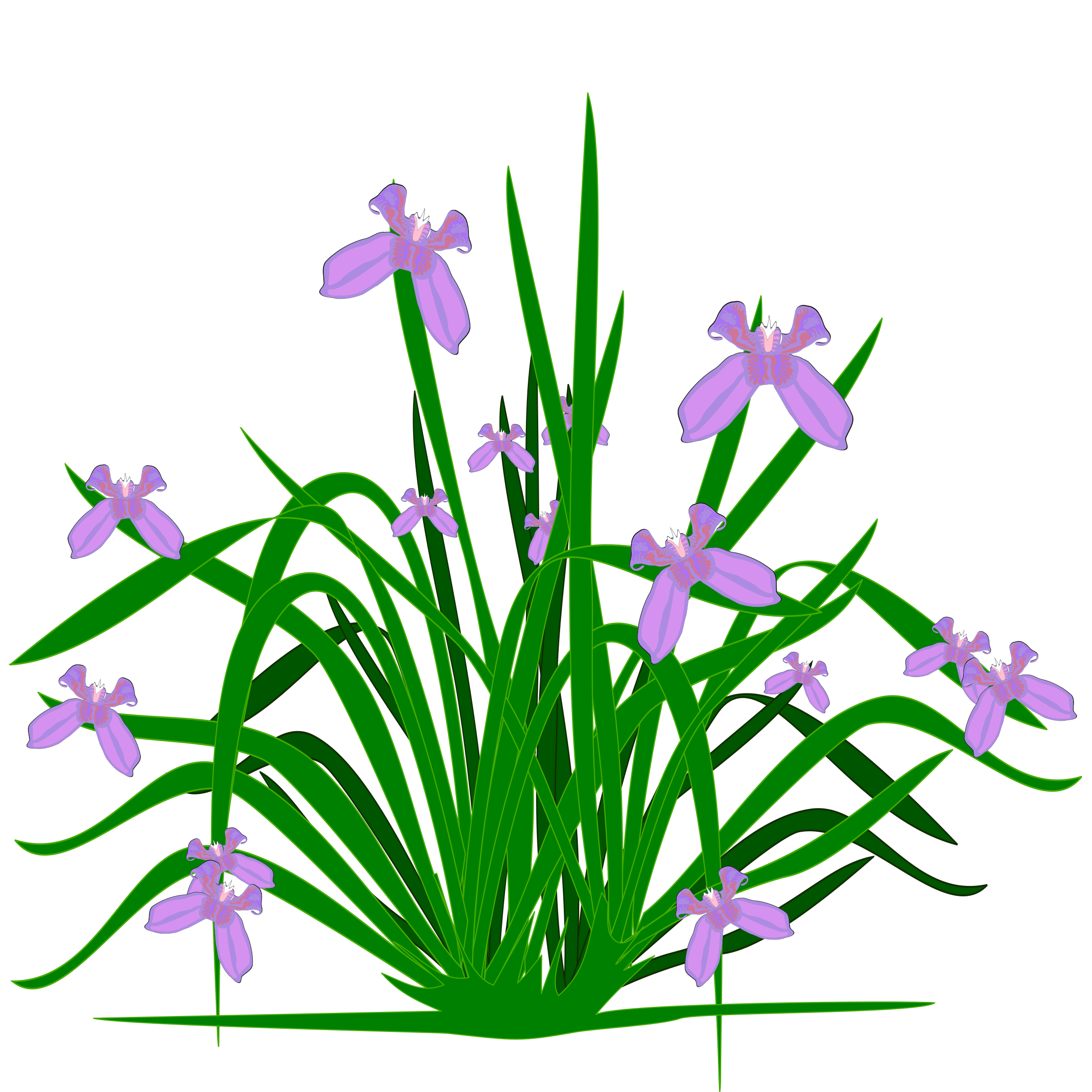 banner transparent download Violet clipart flower plant. Irises iris croatica clip