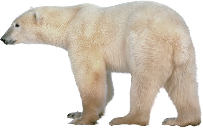picture freeuse download Clipart polar bear. Ryde january us spyder