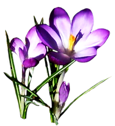 jpg black and white library Free spring flowers pictures. Violet clipart flower plant