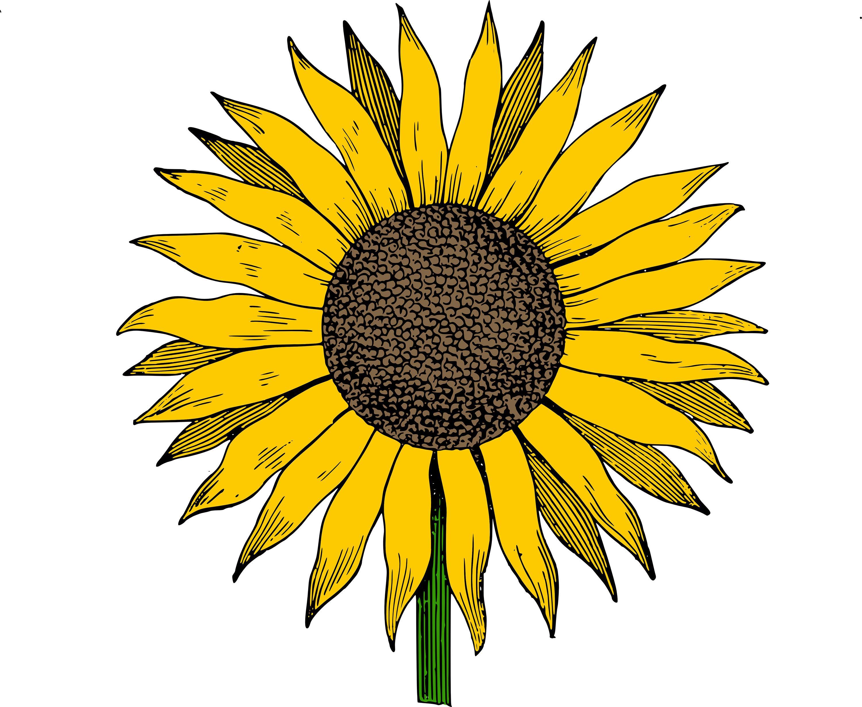 vector stock Hd photos the cliparts. Clipart sunflower