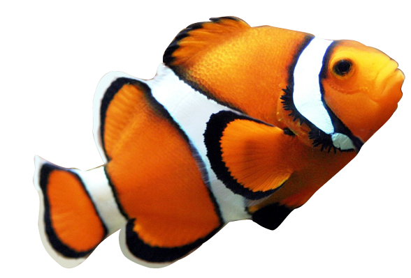 freeuse stock Clown fish clipart black and white. Collection of free fished