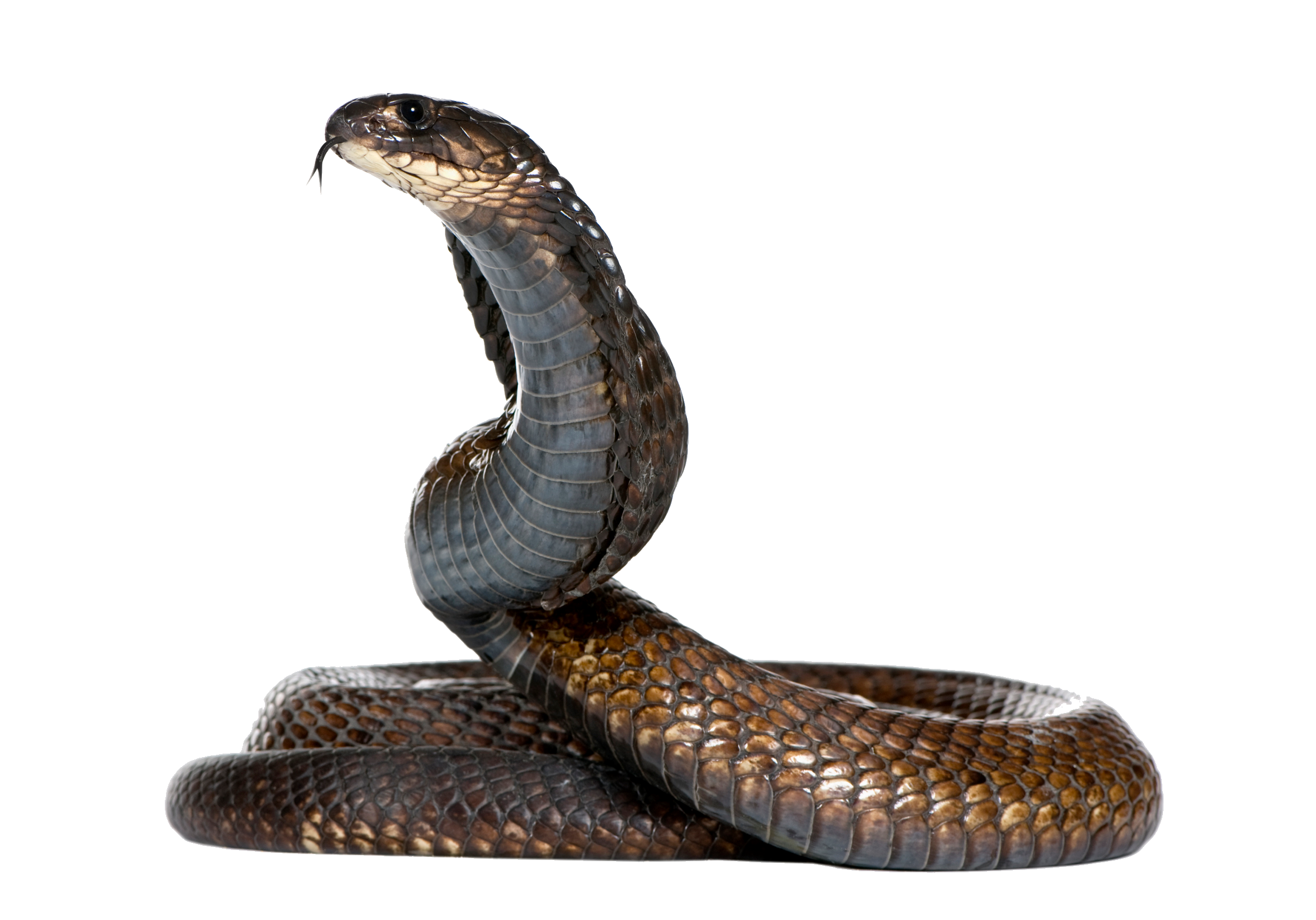 clip freeuse library Drawing snake egyptian cobra. Png cobras pinterest zoos