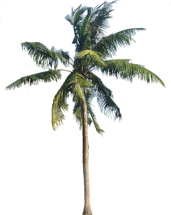 vector transparent Coconut Tree PNG Images Transparent Free Download