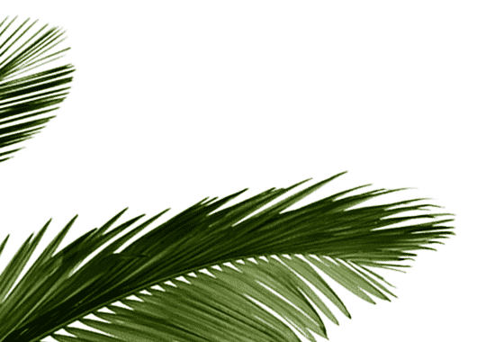 graphic transparent stock transparent coconut tropical #105446479
