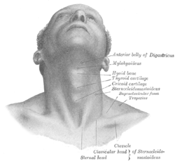 clip freeuse library Supraclavicular fossa wikipedia graypng. Drawing neck anatomy