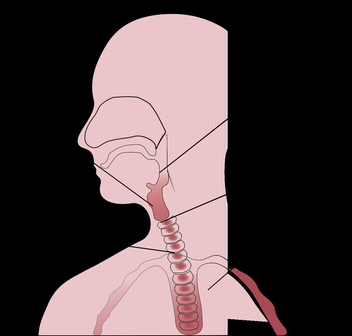 picture freeuse Throat wikipedia . Drawing necks collar bone