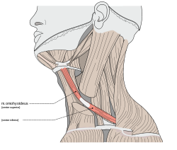 jpg Clavicle revolvy omohyoid. Drawing neck muscle