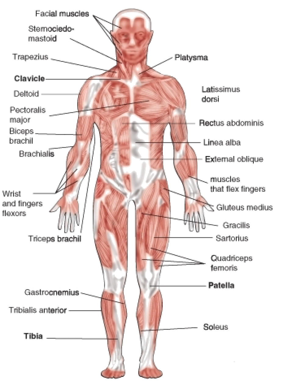 vector freeuse library The muscular system is the a system for humans and etc that allows