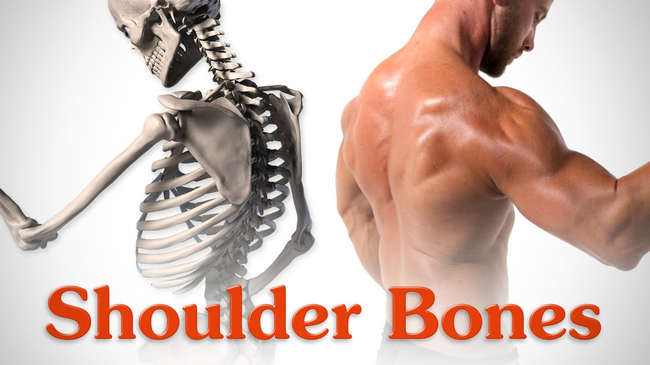 jpg freeuse library Anatomy of the Shoulder Bones
