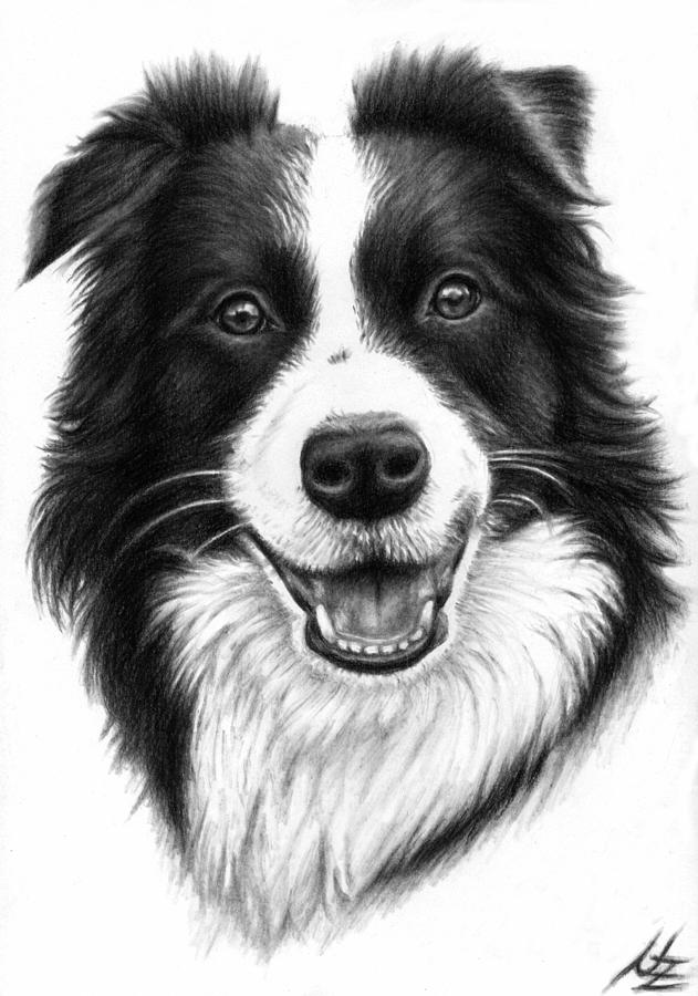 picture free Collie drawing. Border