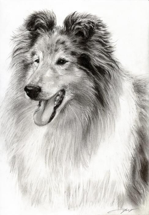 clip transparent library Collie drawing. Collies in dog