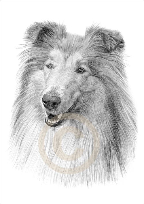 picture freeuse library Collies details about dog. Collie drawing