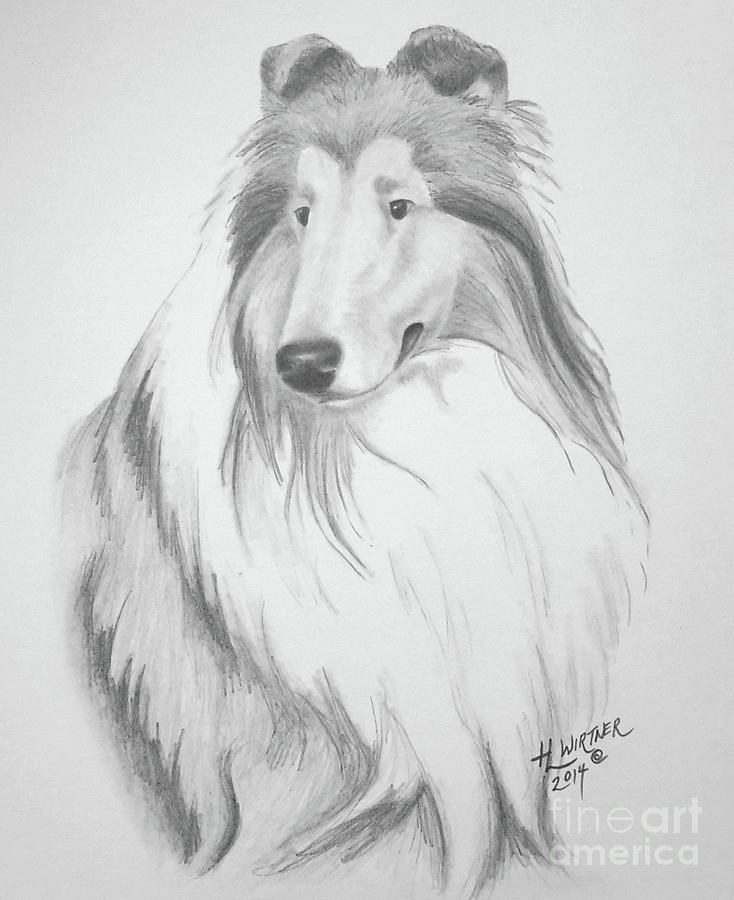 picture library stock Rough jesse . Collie drawing