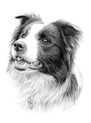 image royalty free download Collie drawing. Border pet art in