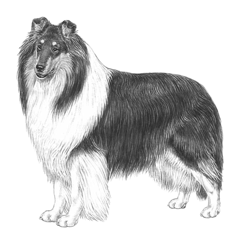 vector free collie drawing rough #110903472