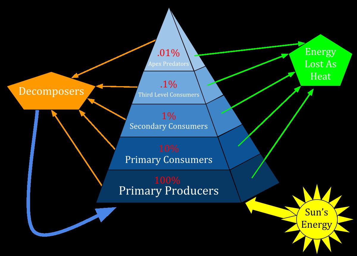 clipart transparent Ecological pyramid