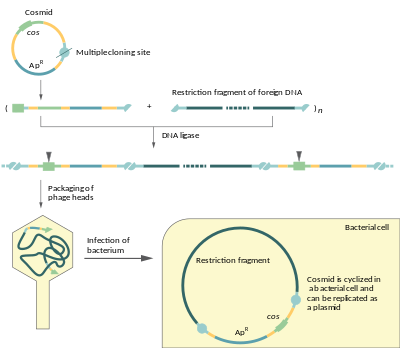 clipart freeuse Cosmid vector. Wikipedia scheme of dna