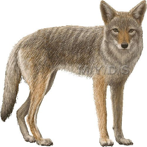 png Picture large clip art. Coyote clipart