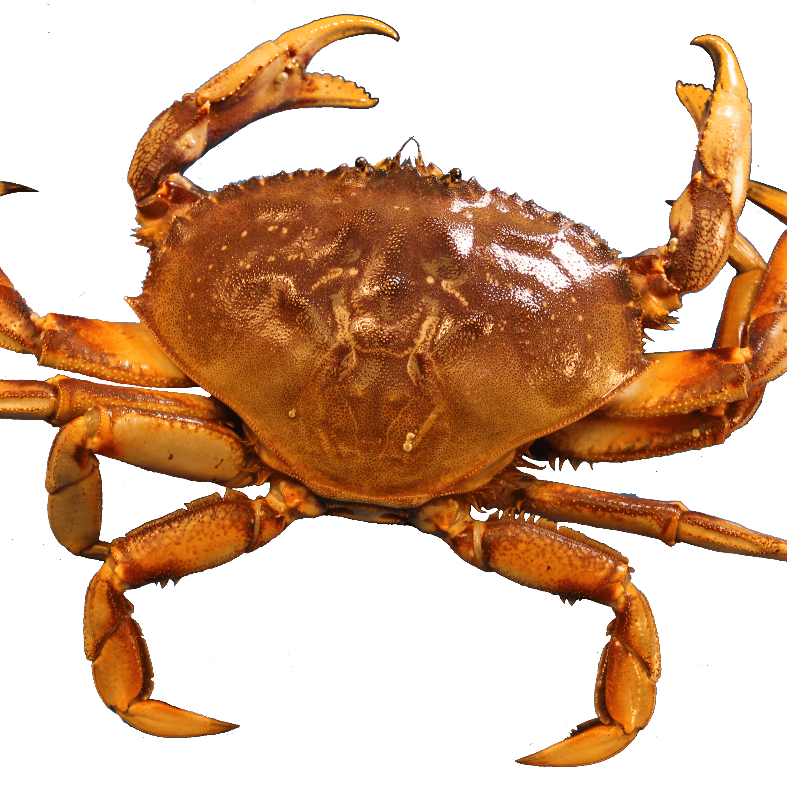 image free library Png stickpng. Crab transparent