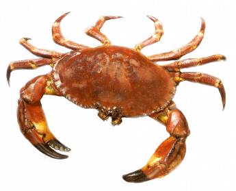 picture stock Crab PNG Images Transparent Free Download