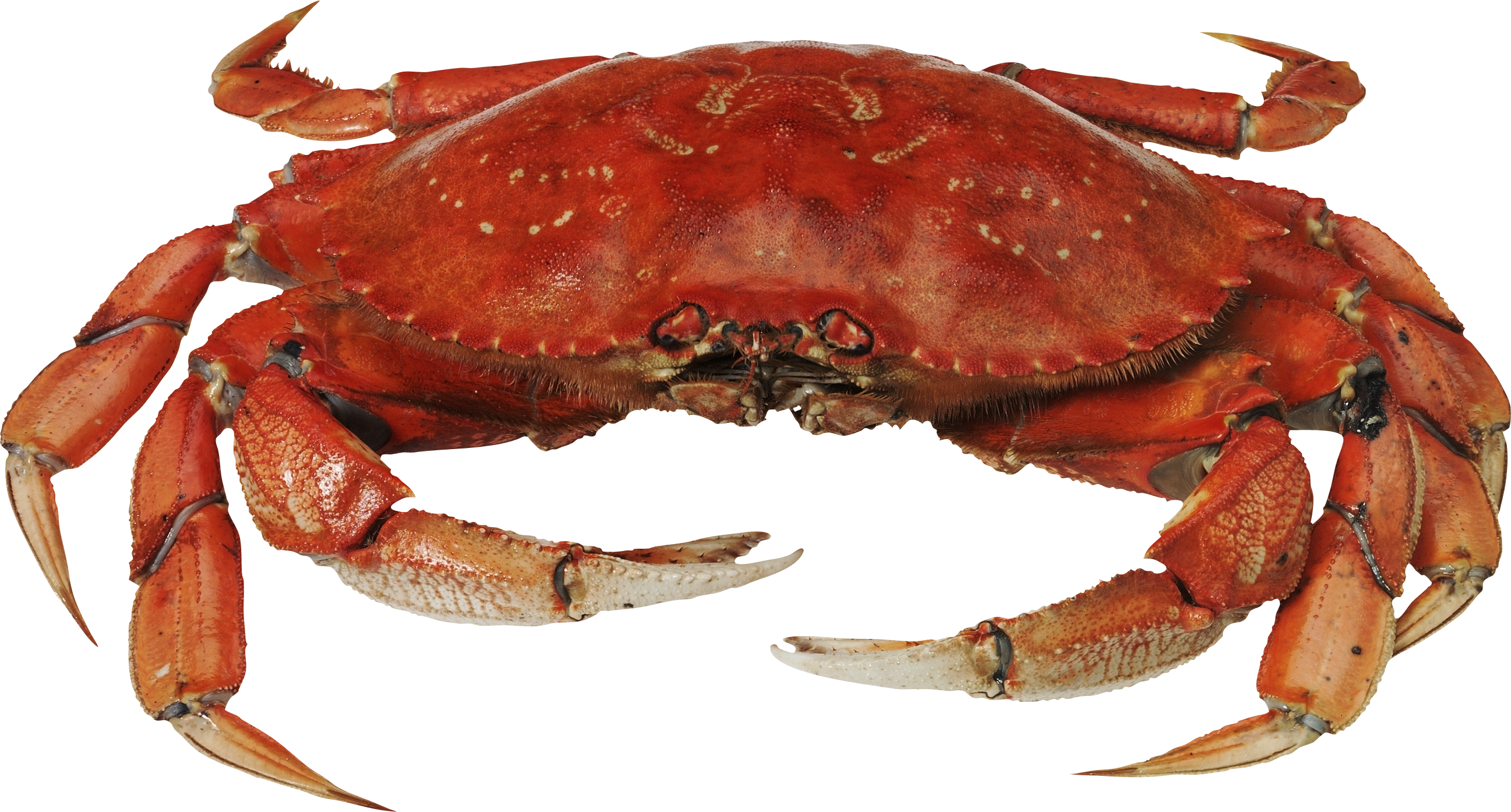 clipart transparent library Red standing png image. Crab transparent background