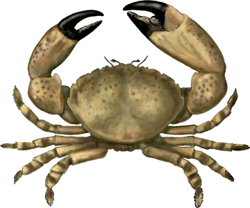 picture download Crab Recommendations from the Seafood Watch Program