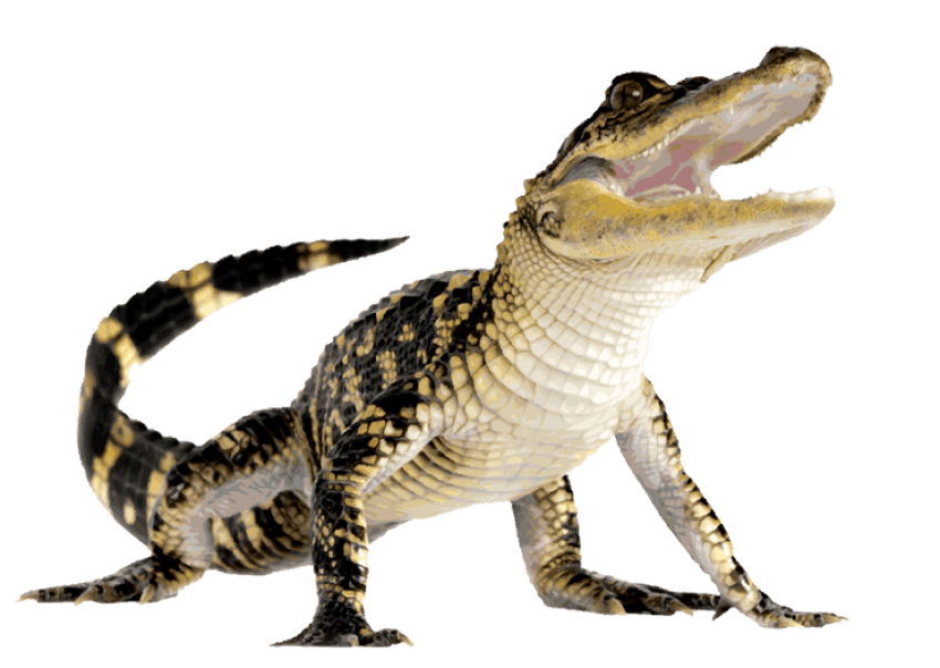 image free stock Crocodile clipart transparent background. Png free images toppng
