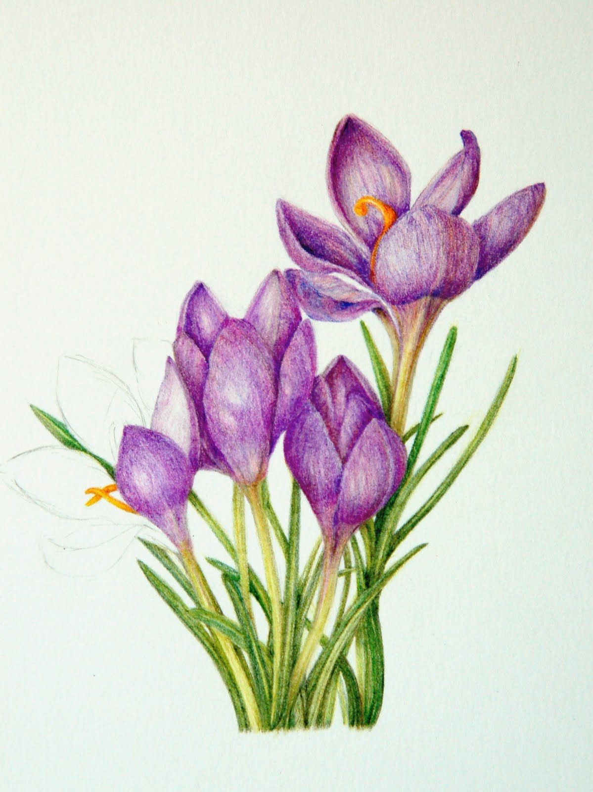 picture stock Top flower images for. Crocus drawing.