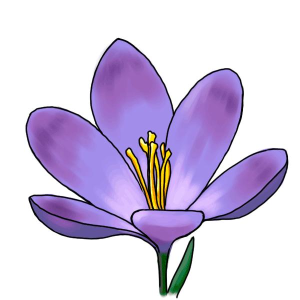clipart freeuse stock Crocus drawing. Flower iridaceae plant purple.