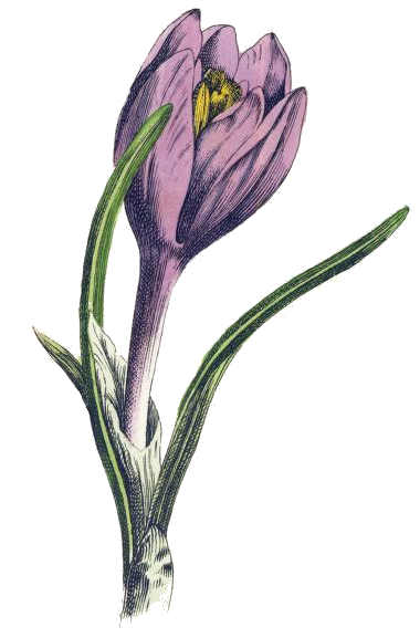 picture royalty free Crocus drawing. Purple reusableart com .