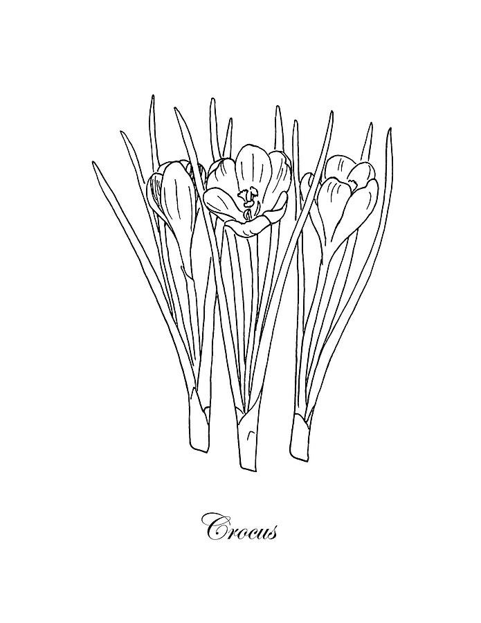 banner black and white library Botanical . Crocus drawing.