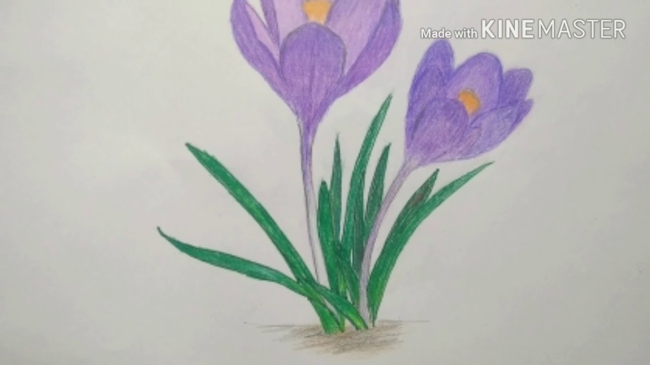 svg transparent library Crocus drawing. How to draw flowers.