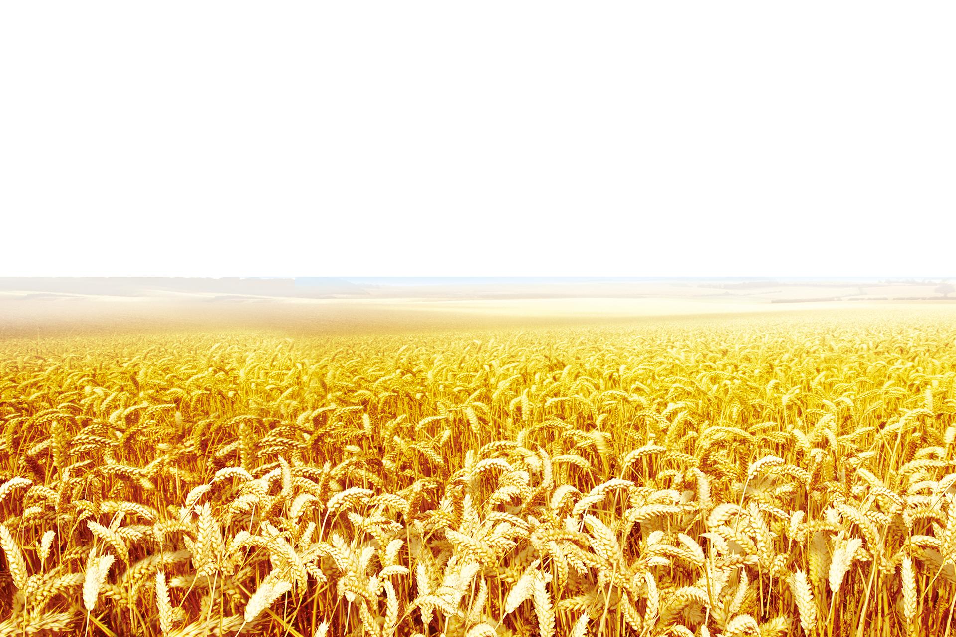 jpg free stock Clip art transprent png. Wheat grass clipart