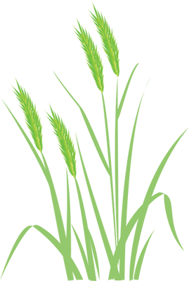 clip free stock Wheat Plant Drawing at GetDrawings