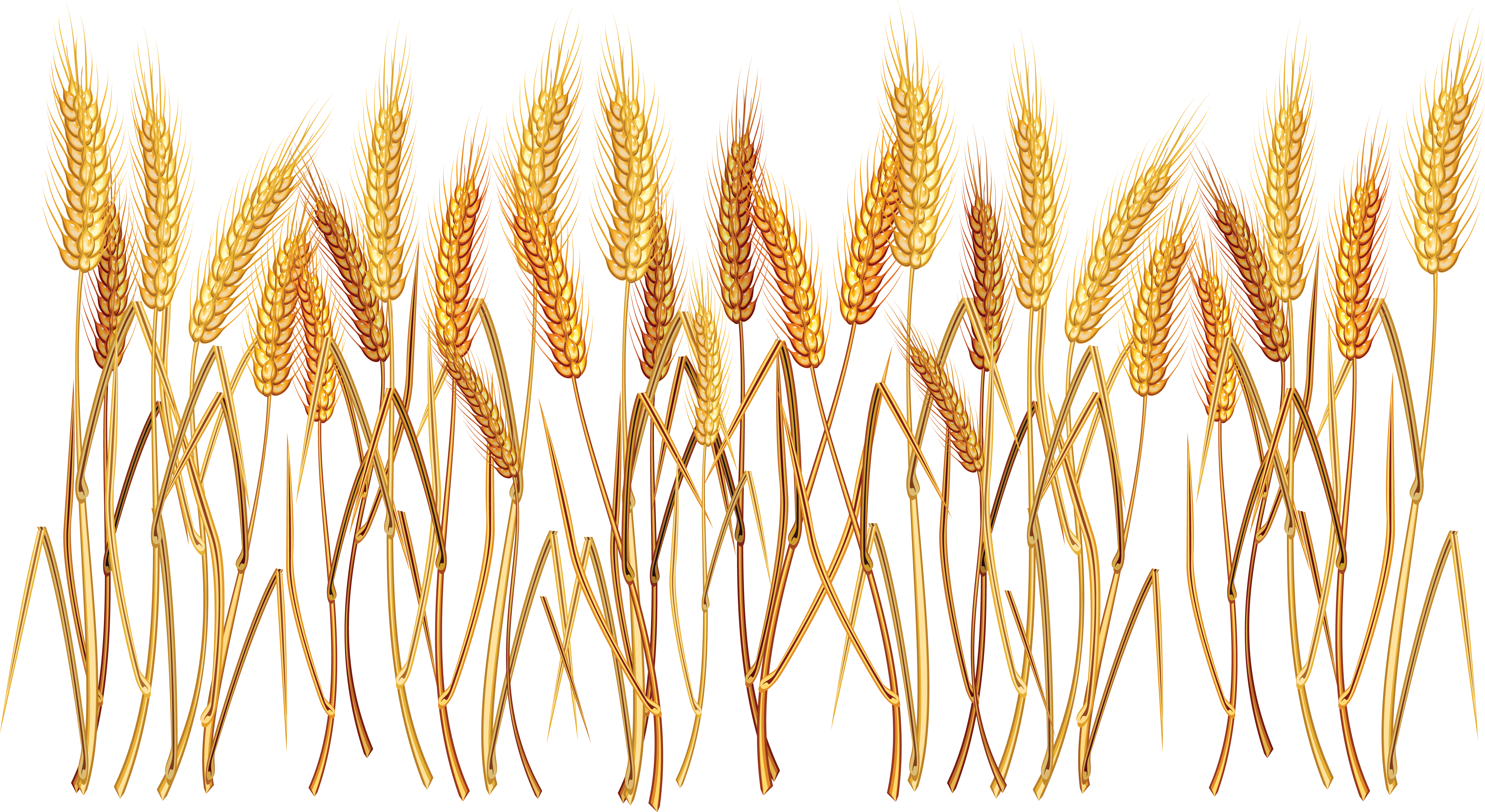 banner stock Grains clipart wheat plant. Png images free download