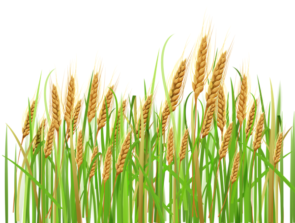 clip transparent stock Ears of png pinterest. Wheat grass clipart